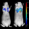 Fluorescence tomograhy of mouse analyzed with TrueQuant