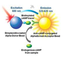 AlphaScreen cAMP assay principle