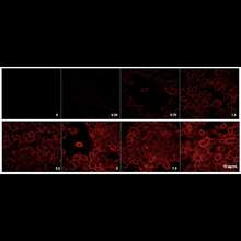 Detection of EGFR expressed in A431 cells by indirect immunofluorescence using increasing concentrations of PhenoVue Fluor 594 Goat Anti-Mouse IgG Cross-Adsorbed