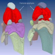 AccuCT imaging software mouse femoral epiphysis