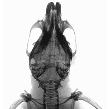 Cranium of control animal imaged using the IVIS Lumina X5