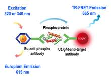 Assay schematic for LANCE <em>Ultra</em> TR-FRET cellular phosphorylation detection assay