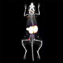 Zirconium-89 injected into mouse, imaged using G8 PET/CT