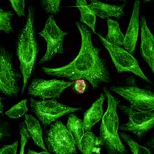 HeLa cells labeled with anti-Tubulin (green) and anti-pHH3 (red) to identify mitotic cells