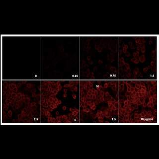 Detection of EGFR expressed in A431 cells by indirect immunofluorescence using increasing concentrations of PhenoVue Fluor 594 Goat Anti-Rabbit IgG Highly Cross-Adsorbed