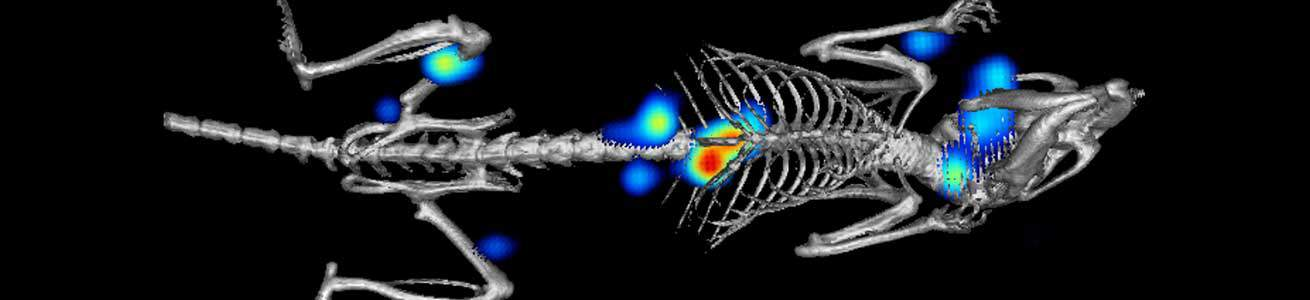 Cancer metastasis in mouse model using bioluminescent cells imaged using IVIS SpectrumCT imaging