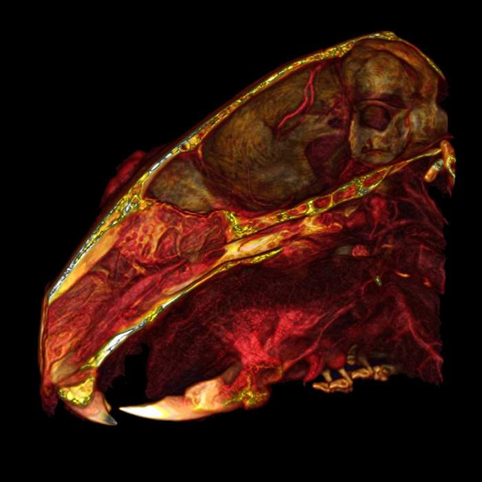 Mouse Head with vasculature Quantum GX2 microCT