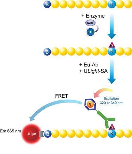 LANCE Ultra Europium-anti-methyl-Histone H3/H4 Arginine (H3